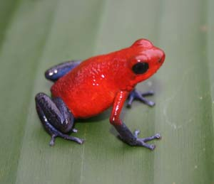 Poison-dart-frog-m