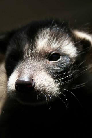 Raccoon Noire